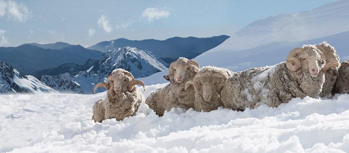 Ovejas merinas en la nieve