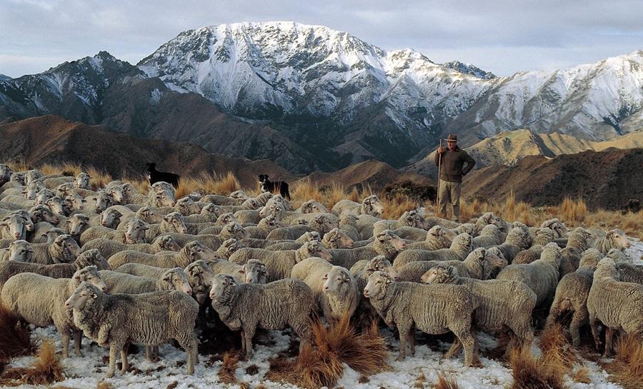 Ovejas merinas pastoreadas en la montaña
