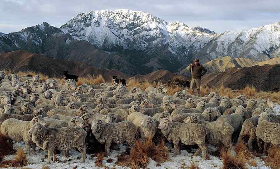 Ovejas-merinas-pastoreadas-en-montana