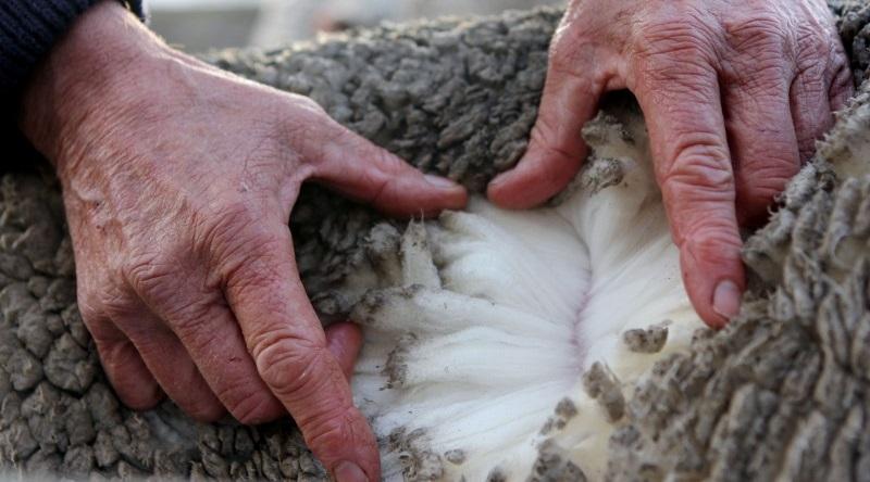 lana oveja merina
